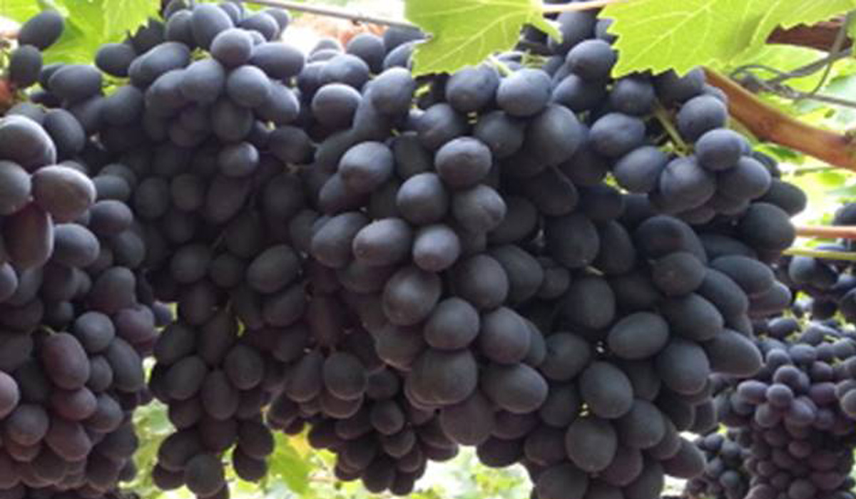 Grapes beauty: photos, description of the variety, reviews 39